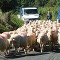 Du mouton dans le pays Basque