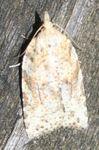 Borboniella allomorpha_01 (2)