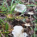 Tricholoma sp