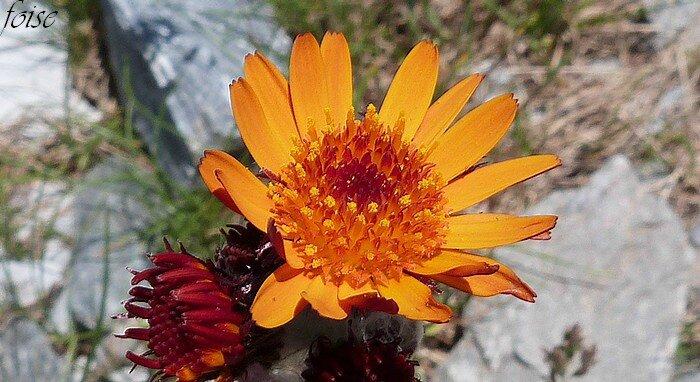 fleurs ligulées sur la périphérie tubulaires au centre
