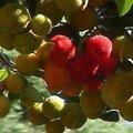 Arbutus unedo (arbousier)