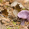 Laccaire améthyste - laccaria amethystina (3)