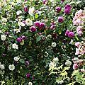 Roses mélangées_13 12 06_4489