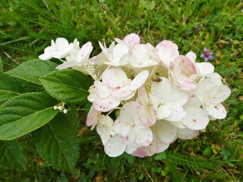 hortensia Sundae Fraise (2)