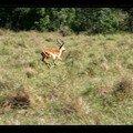 Gazelle de Thomson 5