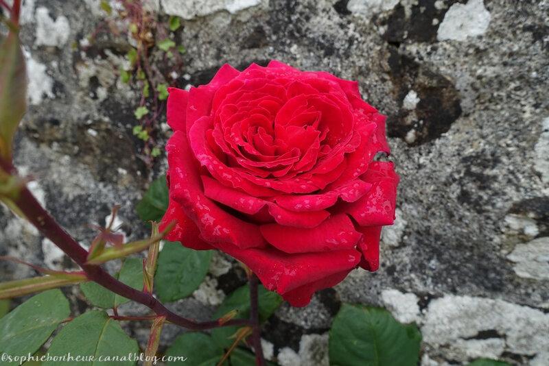 mai juin rose puits