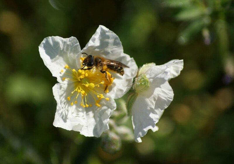 abeille- colletes succinctus 03 (2)