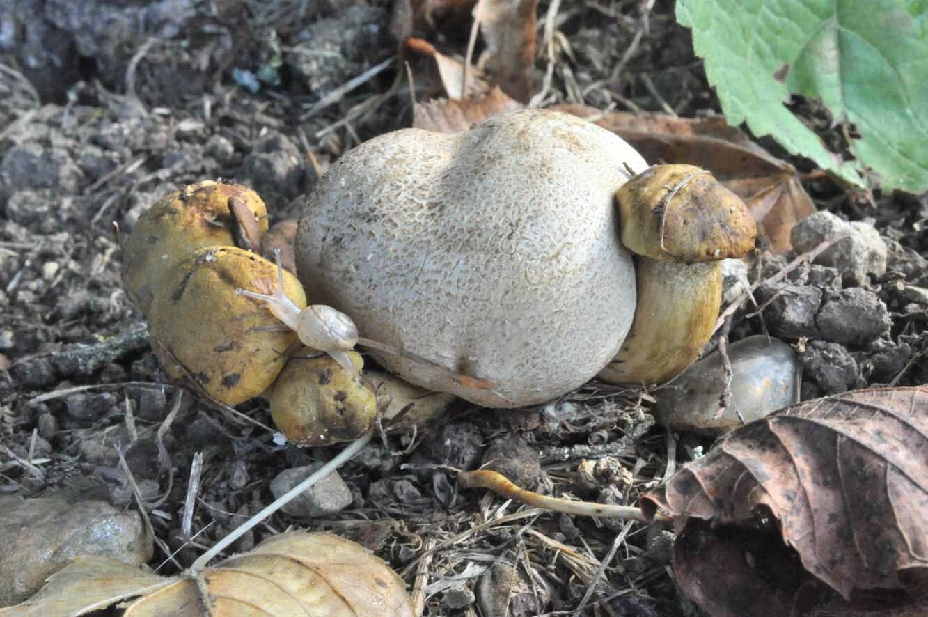 Pseudoboletus parasiticus
