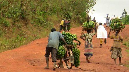 Mabanda, transport de bananes
