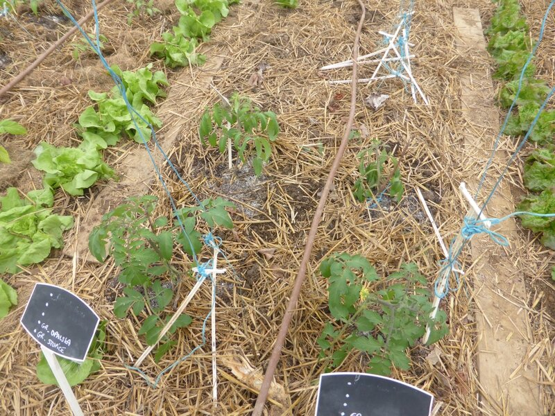 30-plantation tomates serre (12)