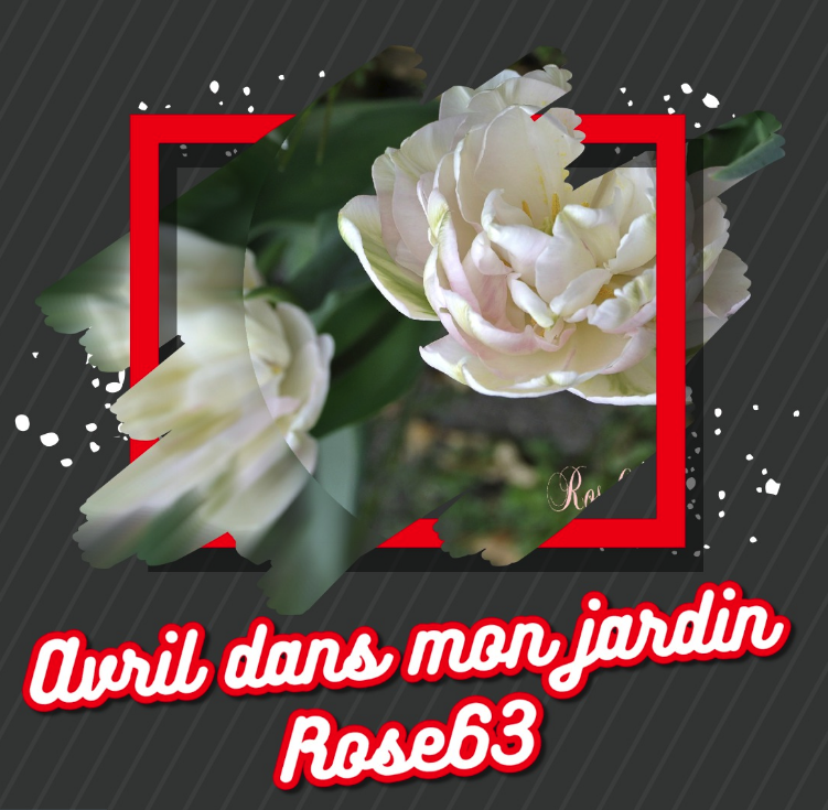 Mes tulipes avril 2018 Rose63