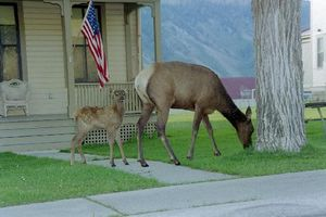 elk_are_just_steps_outside