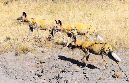 Lycaons, parc de Bwabwata, Namibie (2)