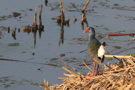 Swamphen_African_Purple1
