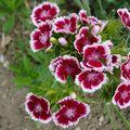 Kwiaty z ogrodu 010 (19)
