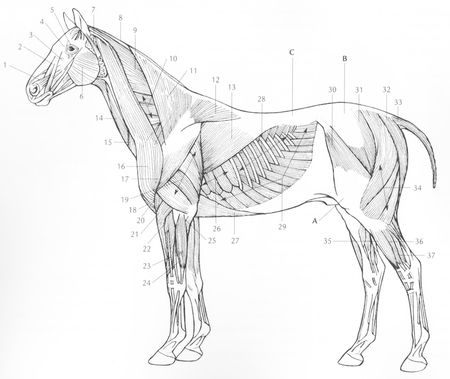 anatomie_cheval_004