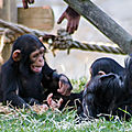 chimpanze beauval2
