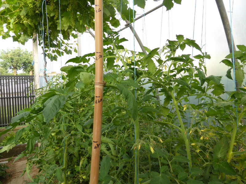 13-tomates (6)