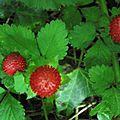 fraisier des Indes (Viarmes)