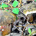 Cèpes noirs dissimulés dans la végétation.