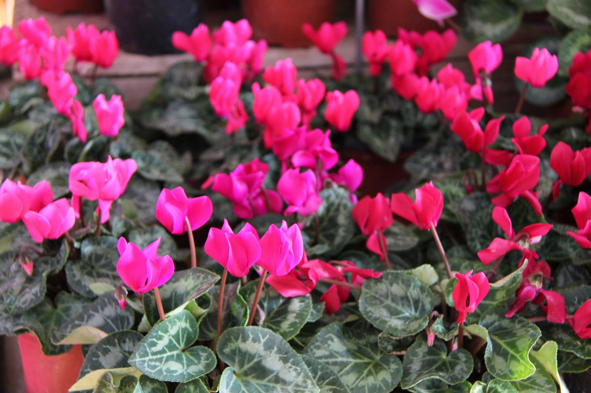 pens es cyclamens et autre fleurs d 39 automne jardinerie du jangoux. Black Bedroom Furniture Sets. Home Design Ideas