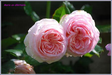 rose_pierre_de_ronsard