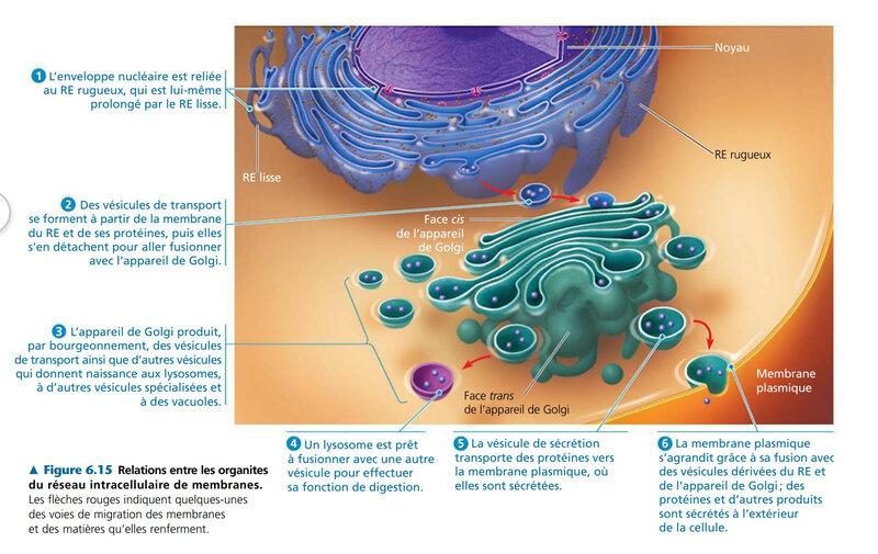 le réseau intracellulaire de membranes