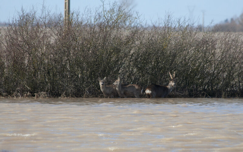 Chevreuil Marans inondation Xyntia 1 280210 YM