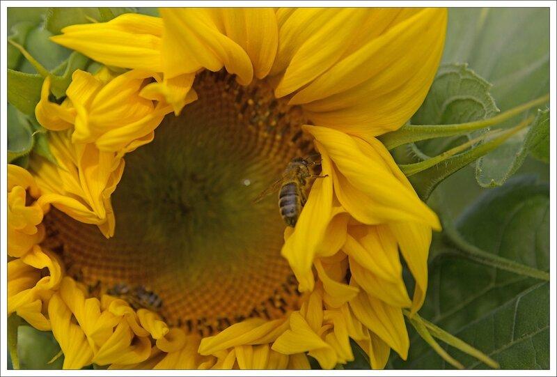 Plaine tournesol abeilles 090714