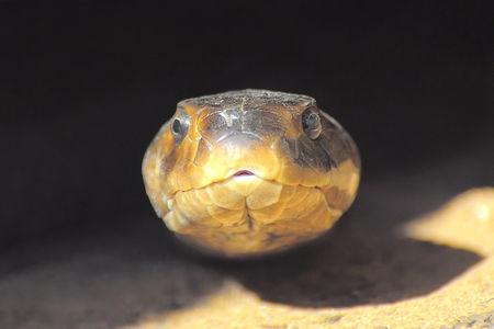 Cobra_cracheur_du_Mozambique__Afrique_du_Sud__3__b