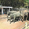 4_Pinnawela-elephants