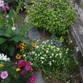 2009 08 03 Divers fleurs de mon jardin