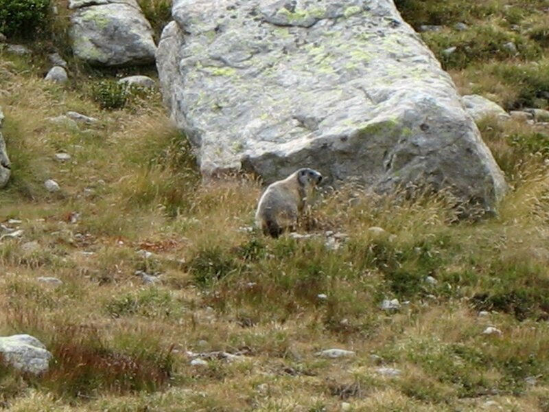 Vallée des Merveilles, marmotte (06)