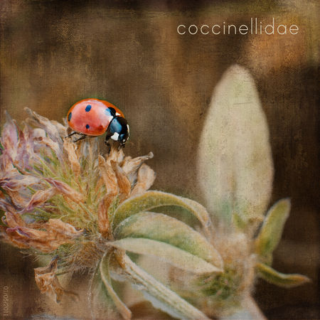 coccinelle_RS