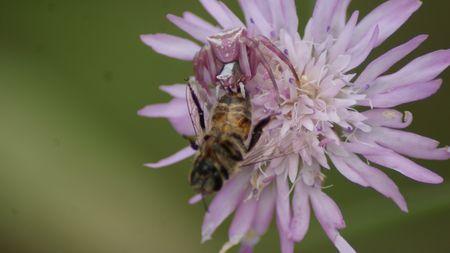 araignee rose abeille23