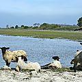 agneaux dans la baie du Mont St Michel