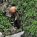 Collybia fusipes (6)