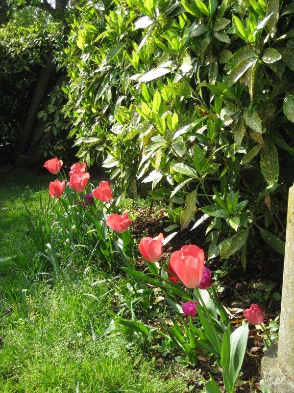 Premières tulipes..