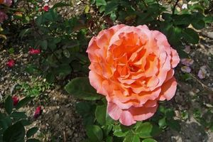 Rose de Deniseb47a50e092ae