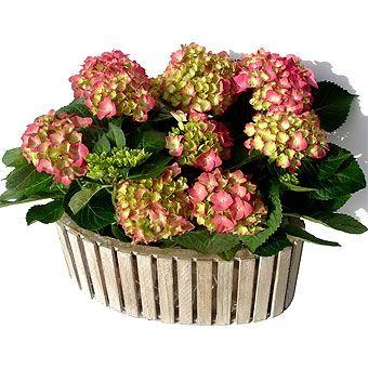 hortensia rose panierCADO0649