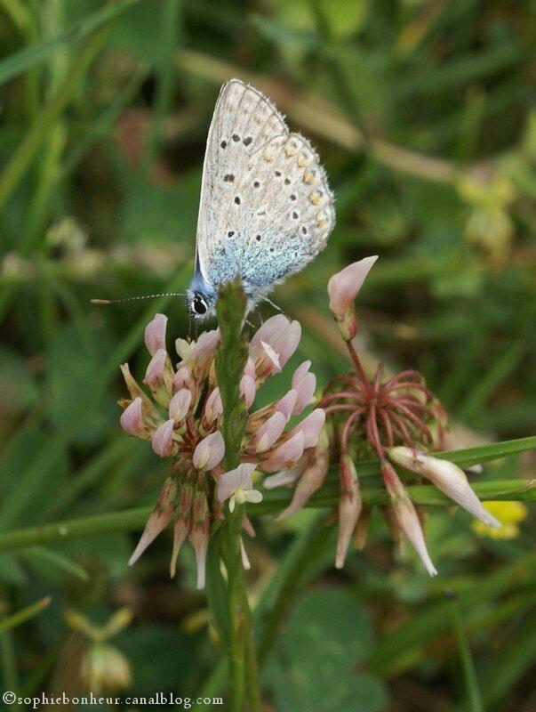LFB papillon