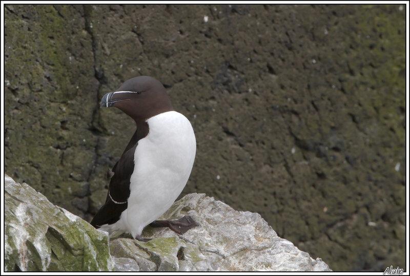 Pingouin torda, en train de se tordre le cou