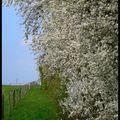 Arbres fleuris
