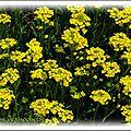 Flore - alysson des rochers