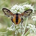 Phasia hemiptera (à confirmer)
