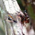 Trachyderes succinctus - Longicornes
