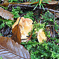 Hydnum rufescens (1)