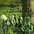 narcisse cheerfulness, tulipe angelique, tulipe queen of night