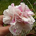 dianthus plumarius bailey's celebration
