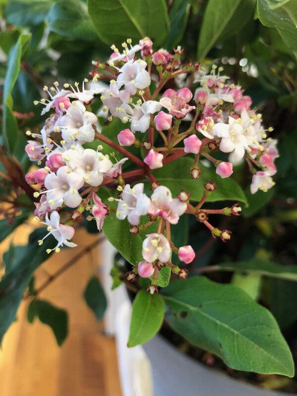 inflorescence de viburnum